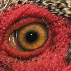 Rooster eye, photo by Cecil Williams  cecilw.com